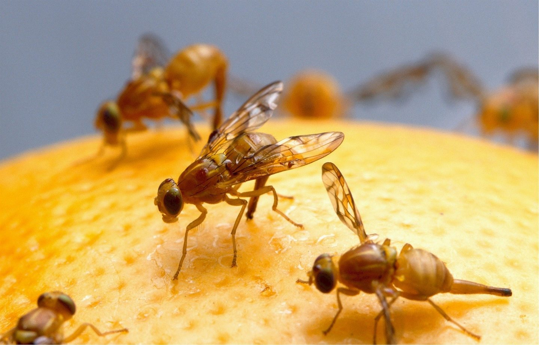 Fruitvliegjes bestrijden + tips